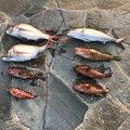 よきとさんの佐賀県東松浦郡でのキジハタの釣果写真