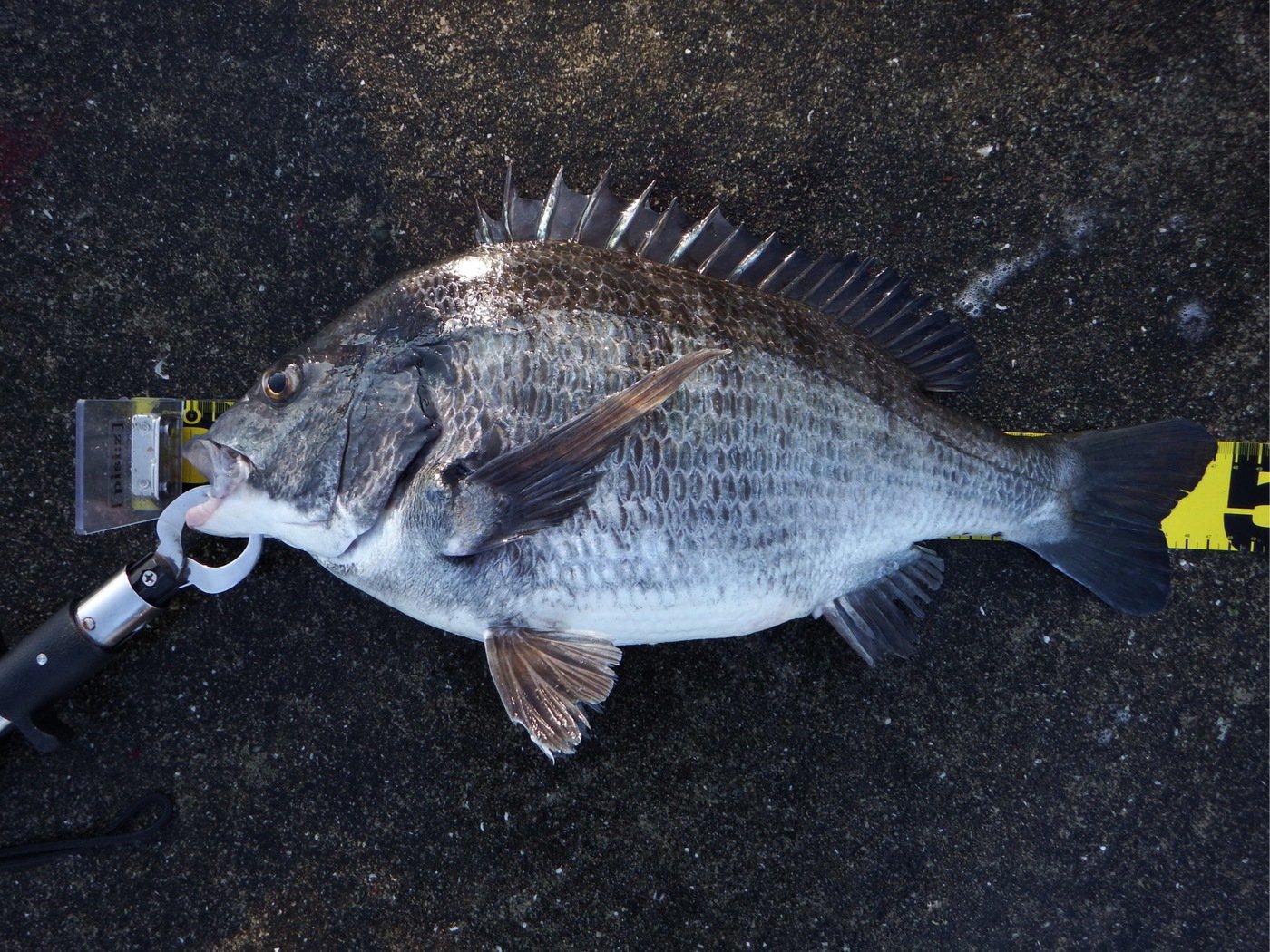denさんの投稿画像,写っている魚はクロダイ