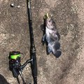 MrKaKuGaRiさんの青森県でのキツネメバルの釣果写真