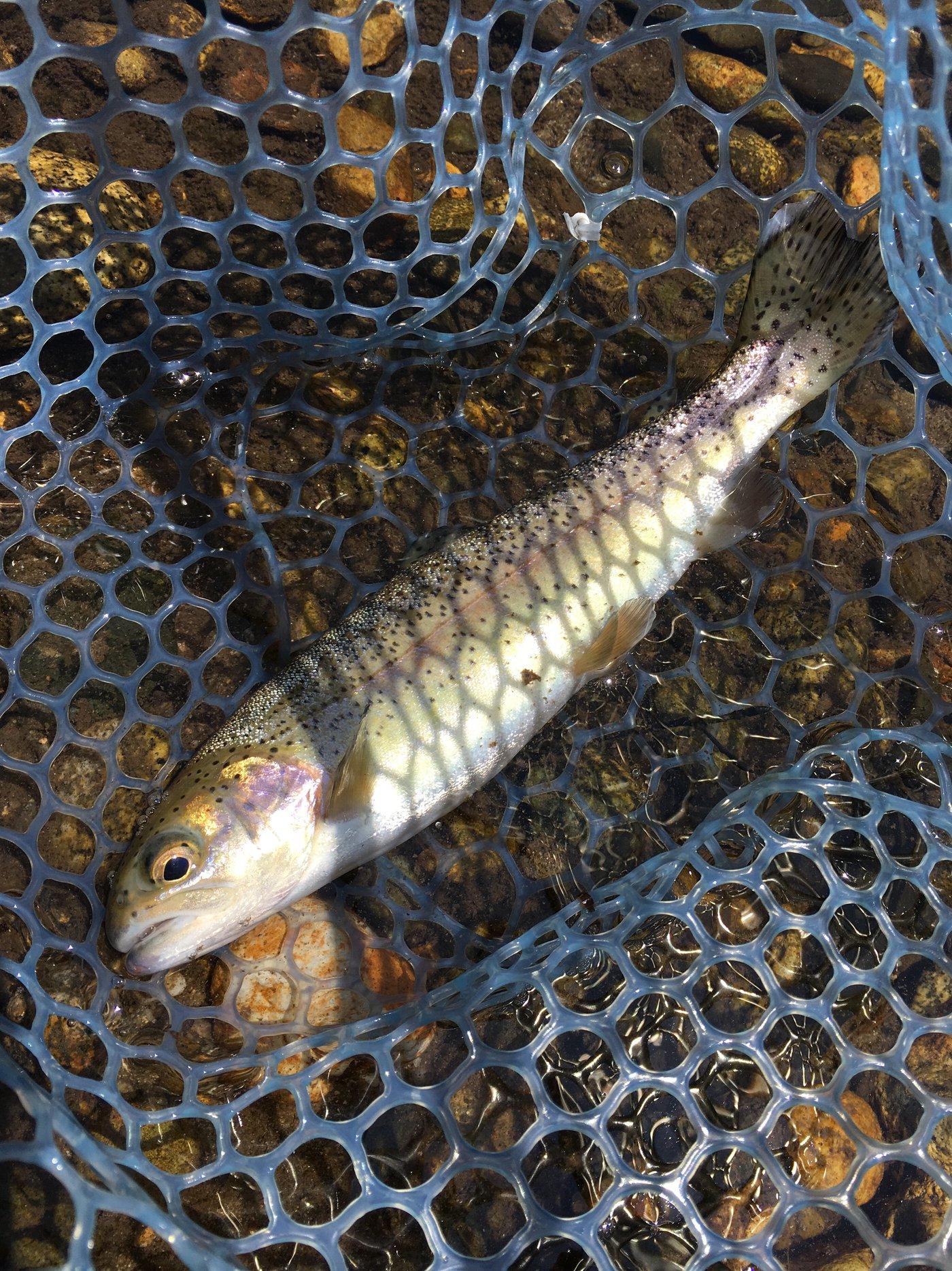 きーくんさんの投稿画像,写っている魚はニジマス