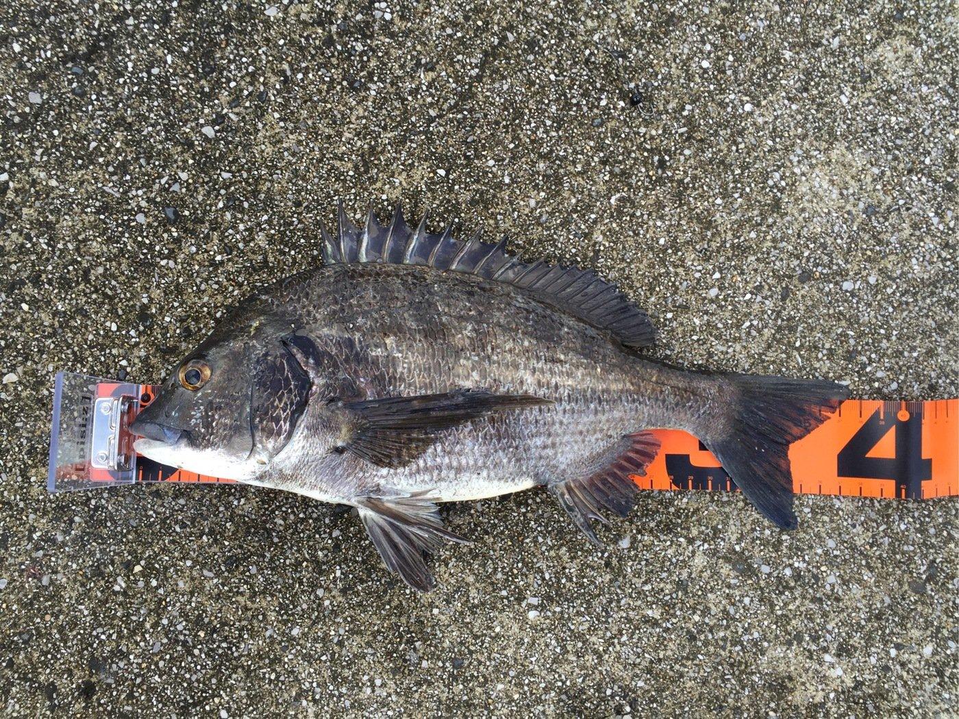 ザッキーさんの投稿画像,写っている魚はクロダイ