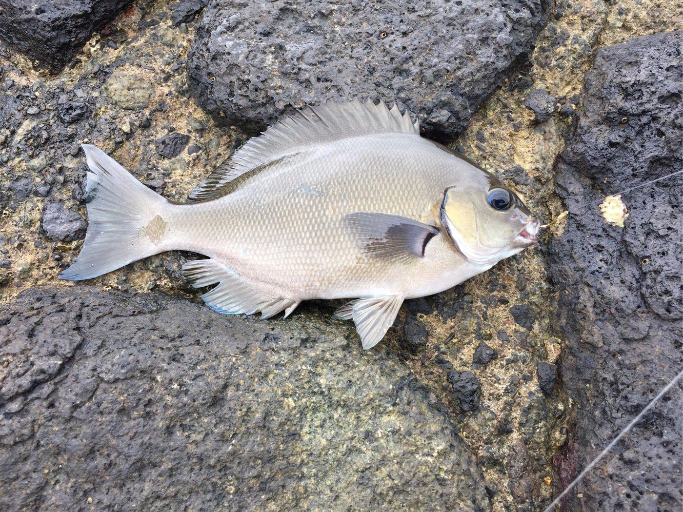 T岡さんの投稿画像,写っている魚はメジナ