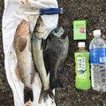 TMさんの千葉県木更津市でのシロギスの釣果写真