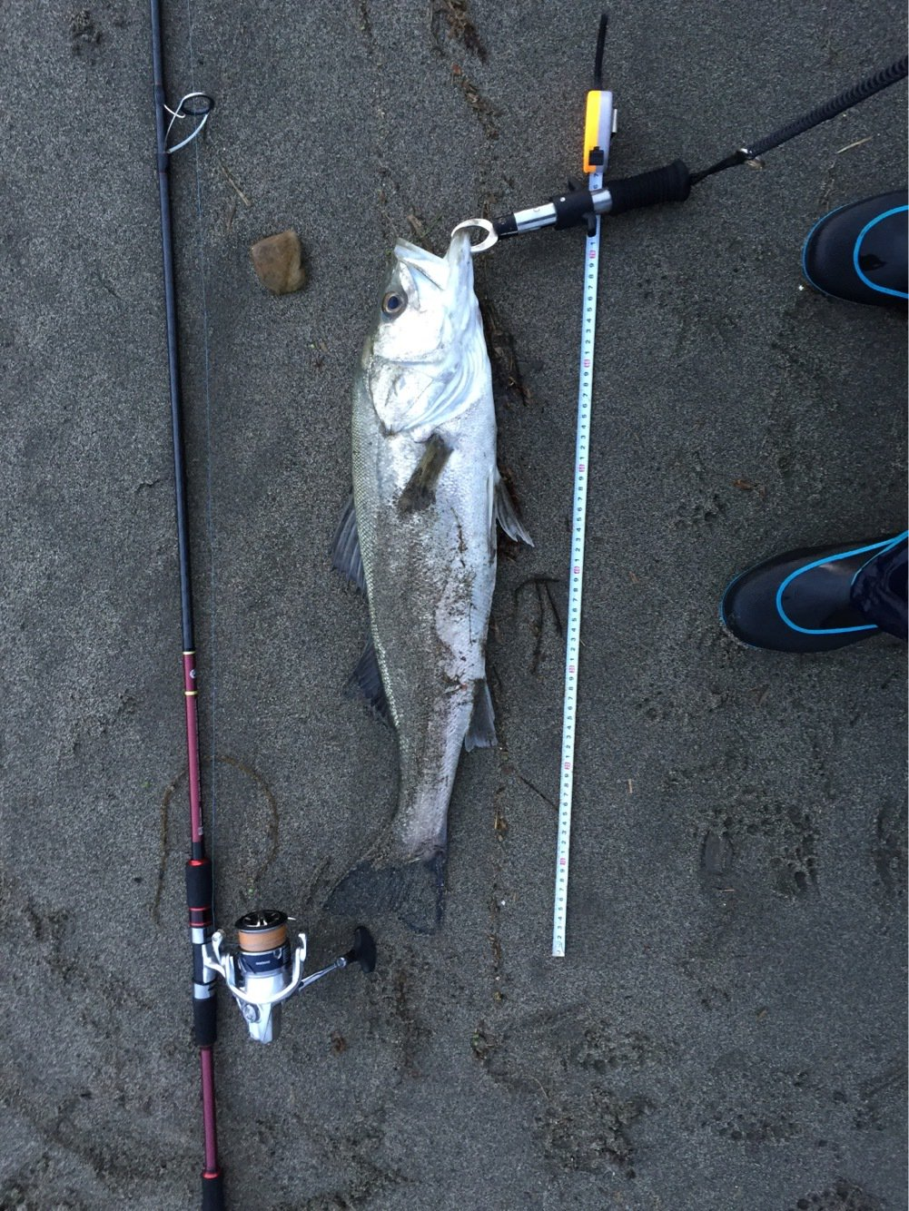タナカさんの投稿画像,写っている魚はスズキ