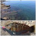 夏遥さんの神奈川県でのキュウセンの釣果写真