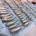 くりまゆさんの静岡県湖西市でのマサバの釣果写真
