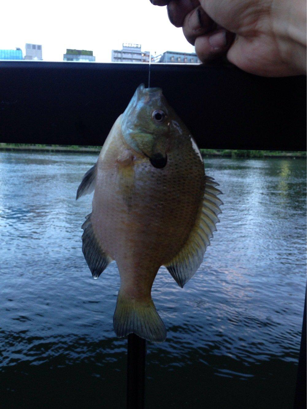 パンクンさんの投稿画像,写っている魚はブルーギル