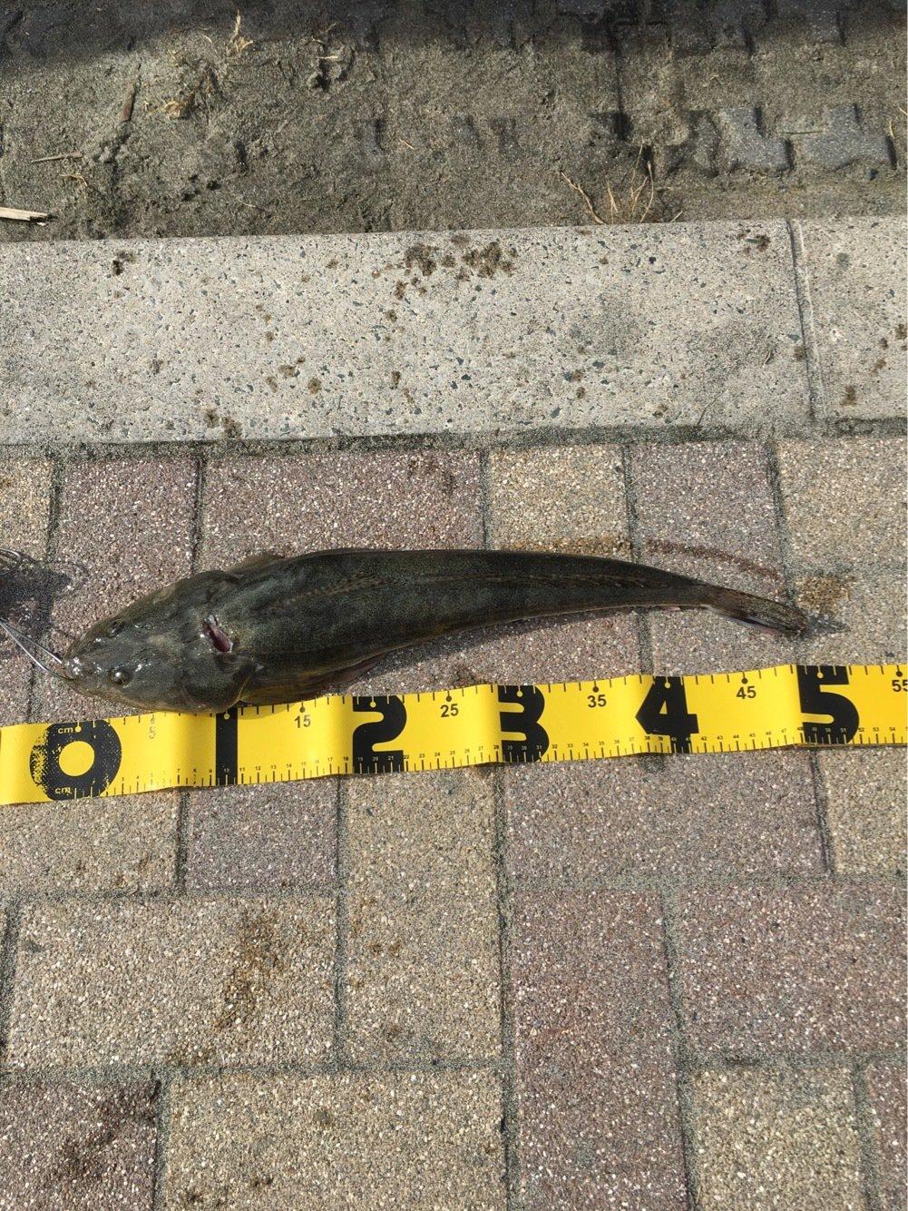 じゅんさんの投稿画像,写っている魚はコチ