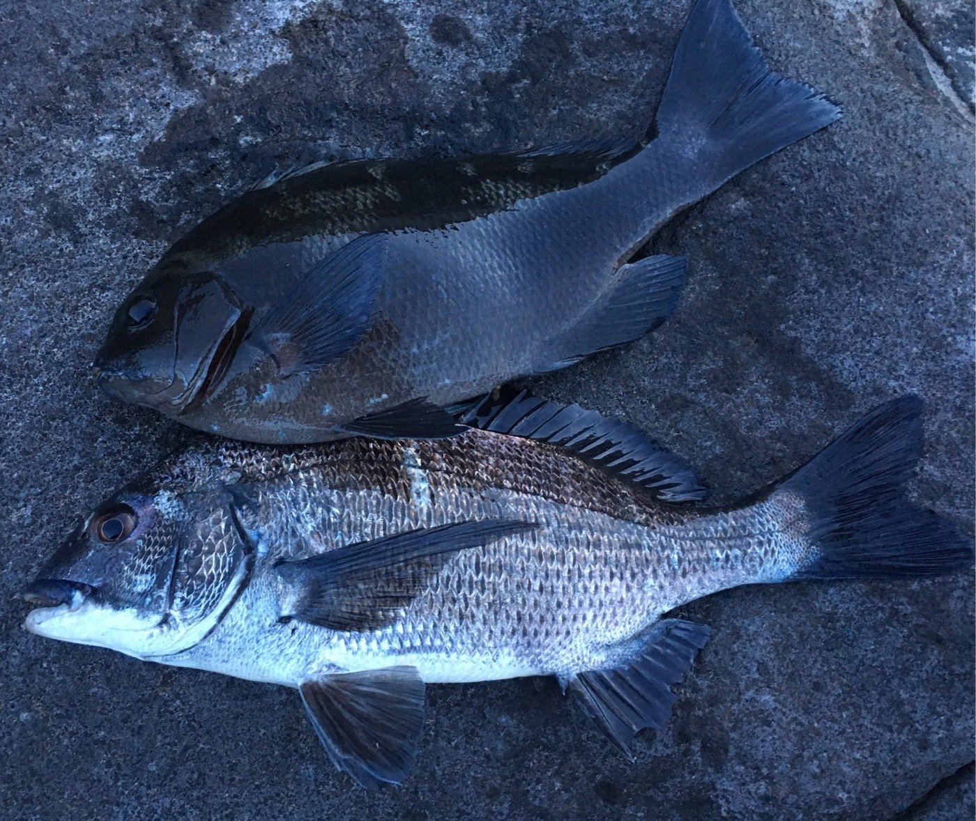 nomanslandさんの投稿画像,写っている魚はメジナ