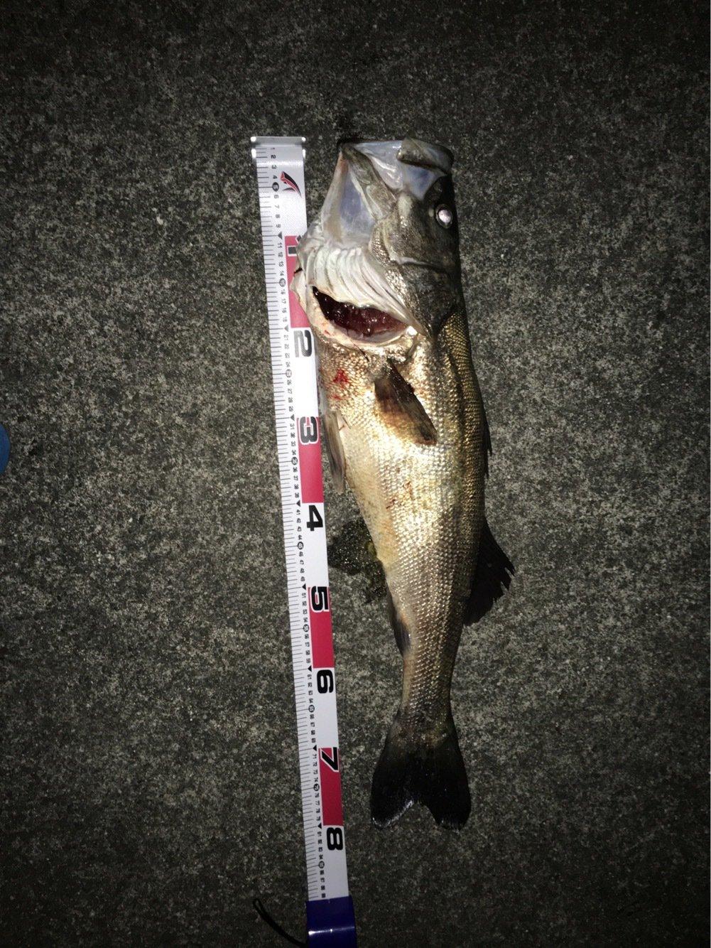 小恋さんの投稿画像,写っている魚はスズキ