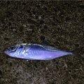 アツシブログさんの大阪府阪南市での釣果写真