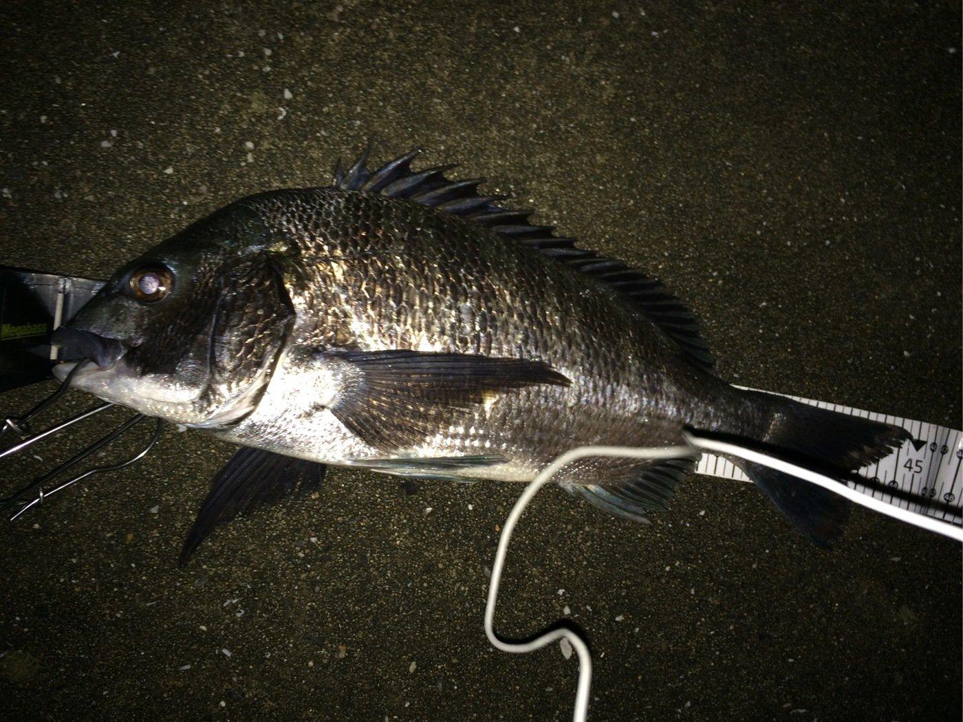 シーバスハンターさんの投稿画像,写っている魚はクロダイ