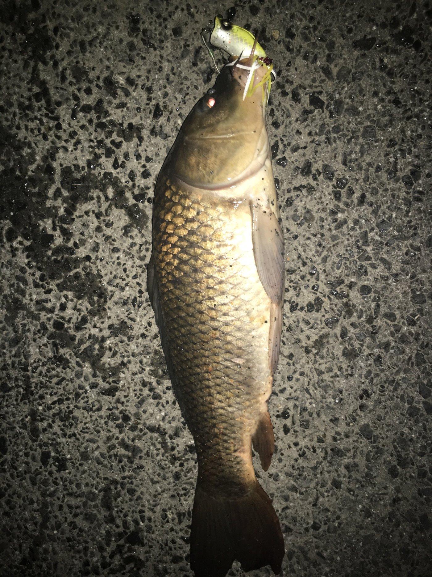 自由の翼さんの投稿画像,写っている魚はコイ