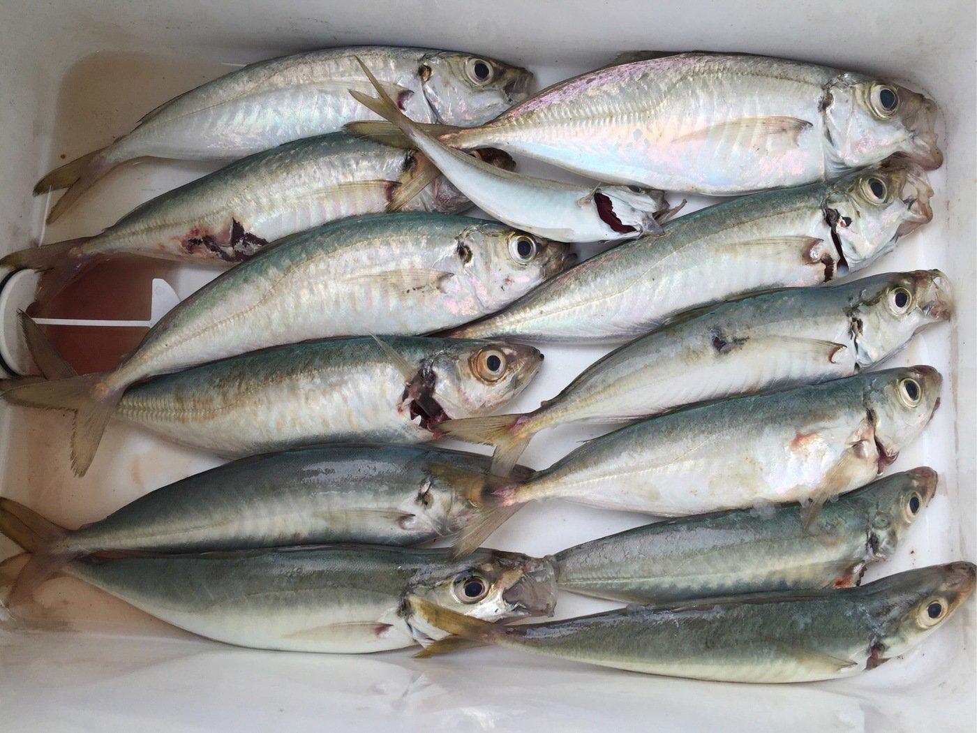 レオルナさんの投稿画像,写っている魚はアジ