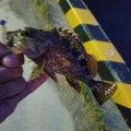 ゆーたさんの山口県周南市でのカサゴの釣果写真