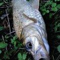 ヒゲダルマさんの宮崎県でのコイの釣果写真