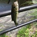 ジャムおじさんの静岡県富士宮市での釣果写真