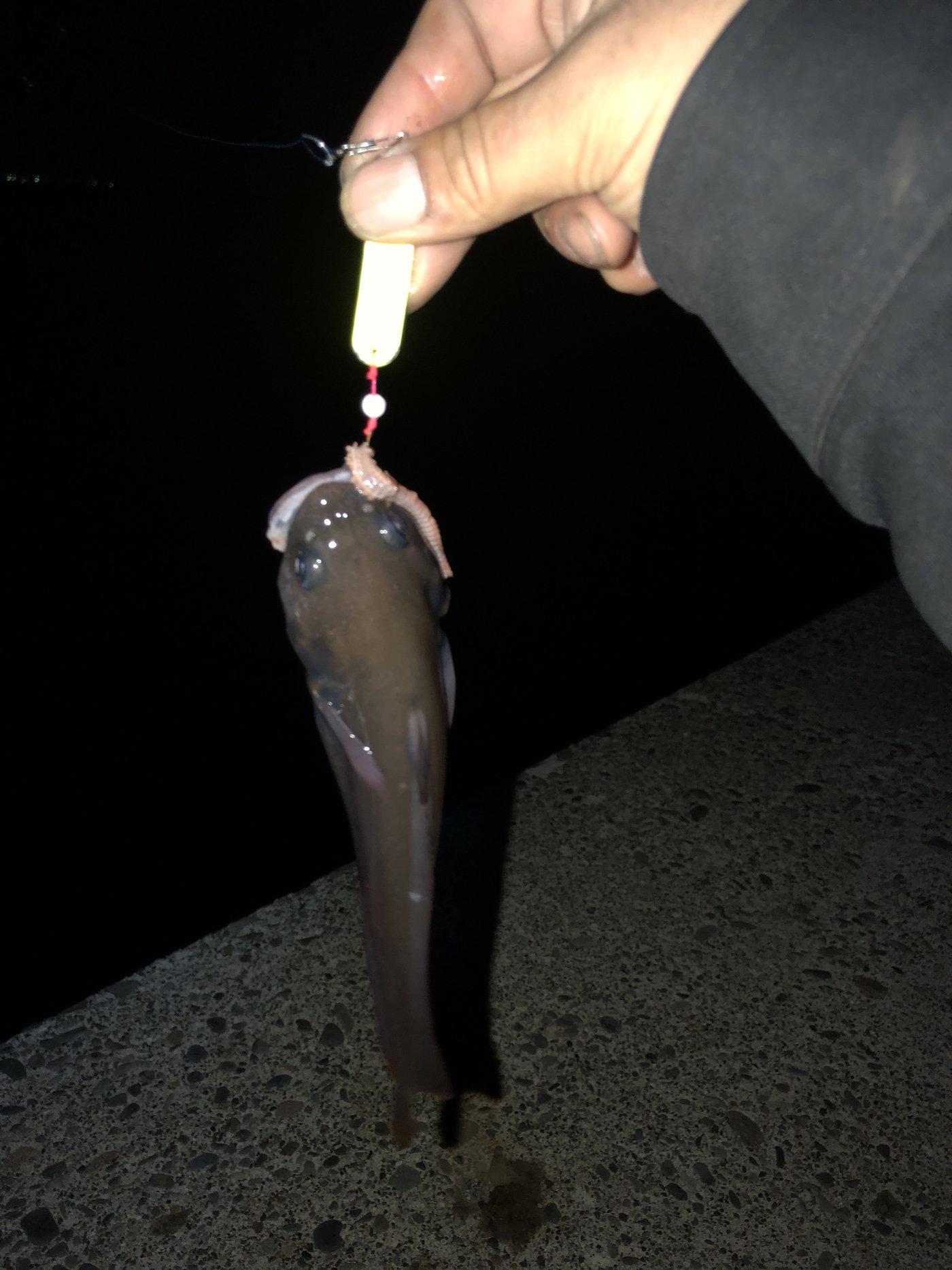 かずさんの投稿画像,写っている魚はエゾイソアイナメ