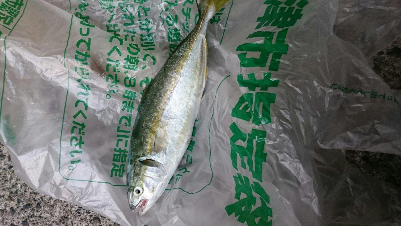 たぁくんさんの投稿画像,写っている魚はブリ