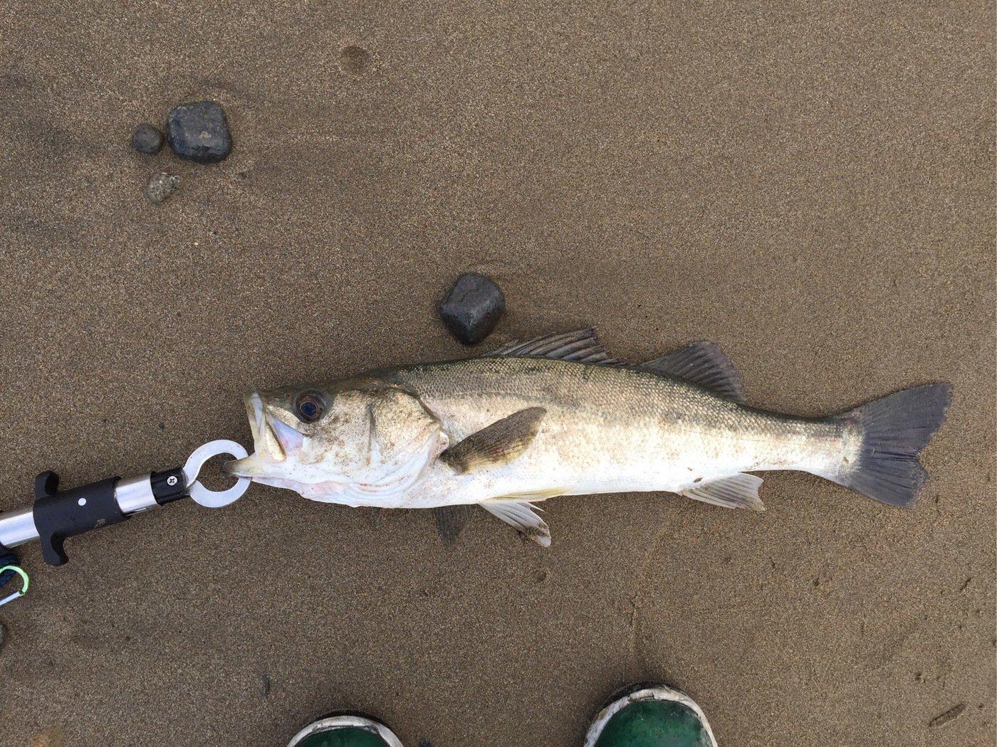 モコちゃんさんの投稿画像,写っている魚はスズキ