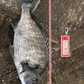 R...さんの熊本県天草郡でのクロダイの釣果写真