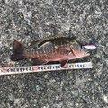 自由耶さんの鹿児島県大島郡での釣果写真