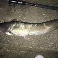 ナオキさんの鹿児島県薩摩川内市でのナマズの釣果写真