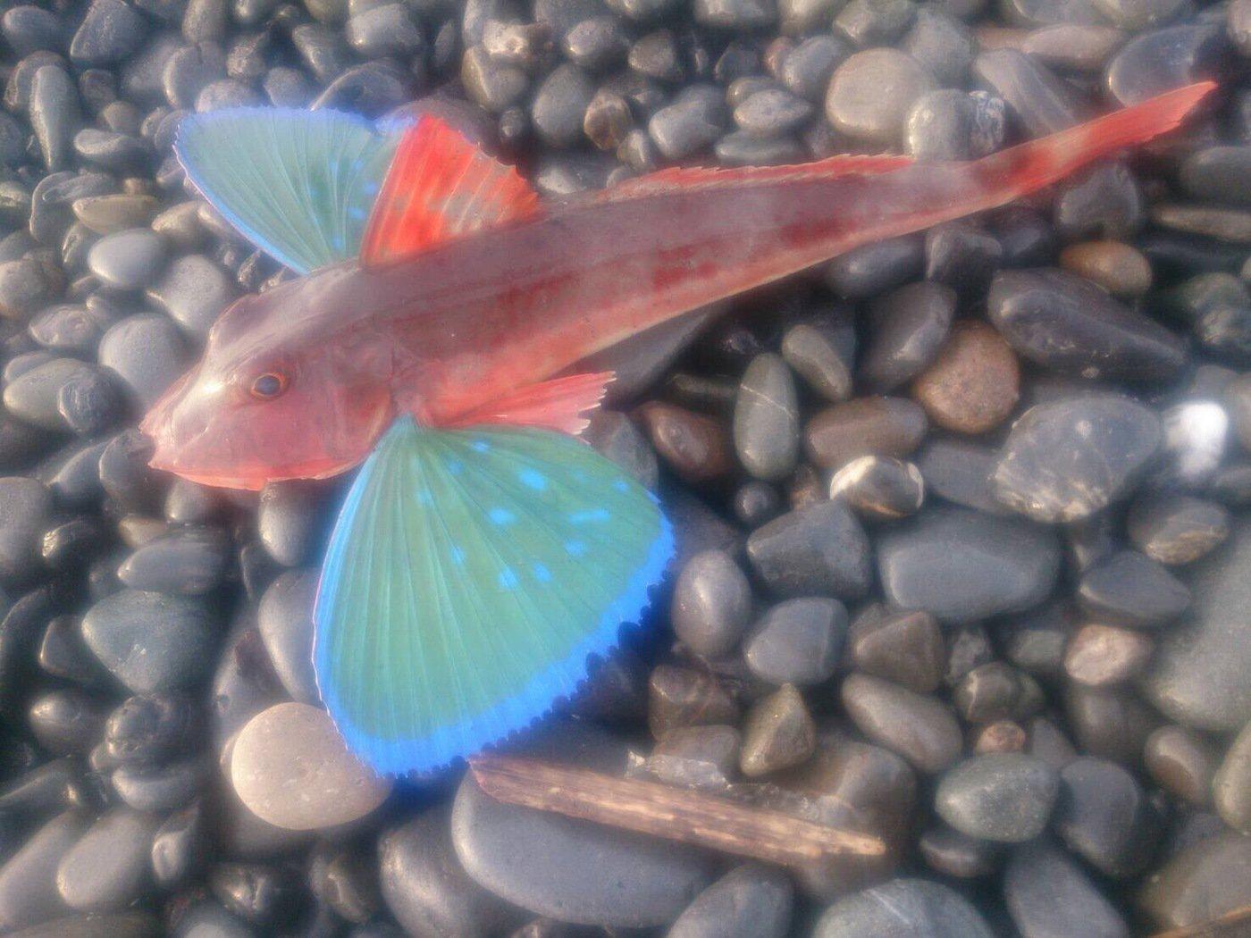 がちゃぴんさんの投稿画像,写っている魚はホウボウ