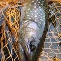 モトヤマさんの岩手県紫波郡での釣果写真