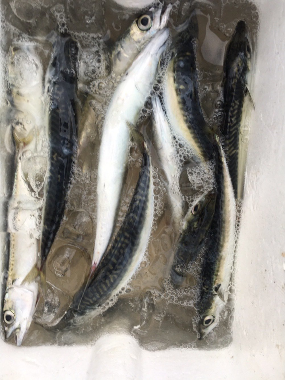 ふるゆさんの投稿画像,写っている魚はゴマサバ