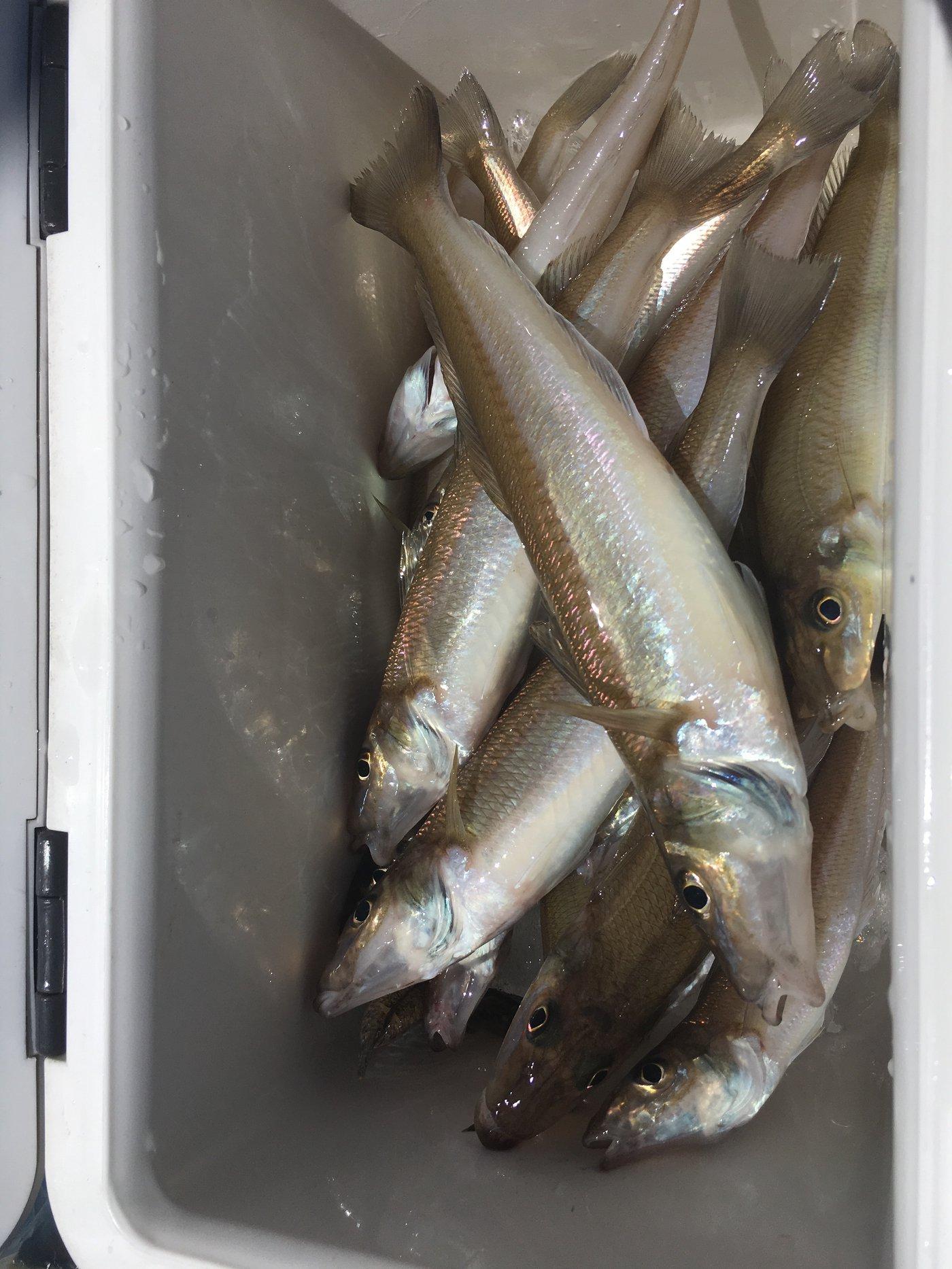 ryuさんの投稿画像,写っている魚はシロギス