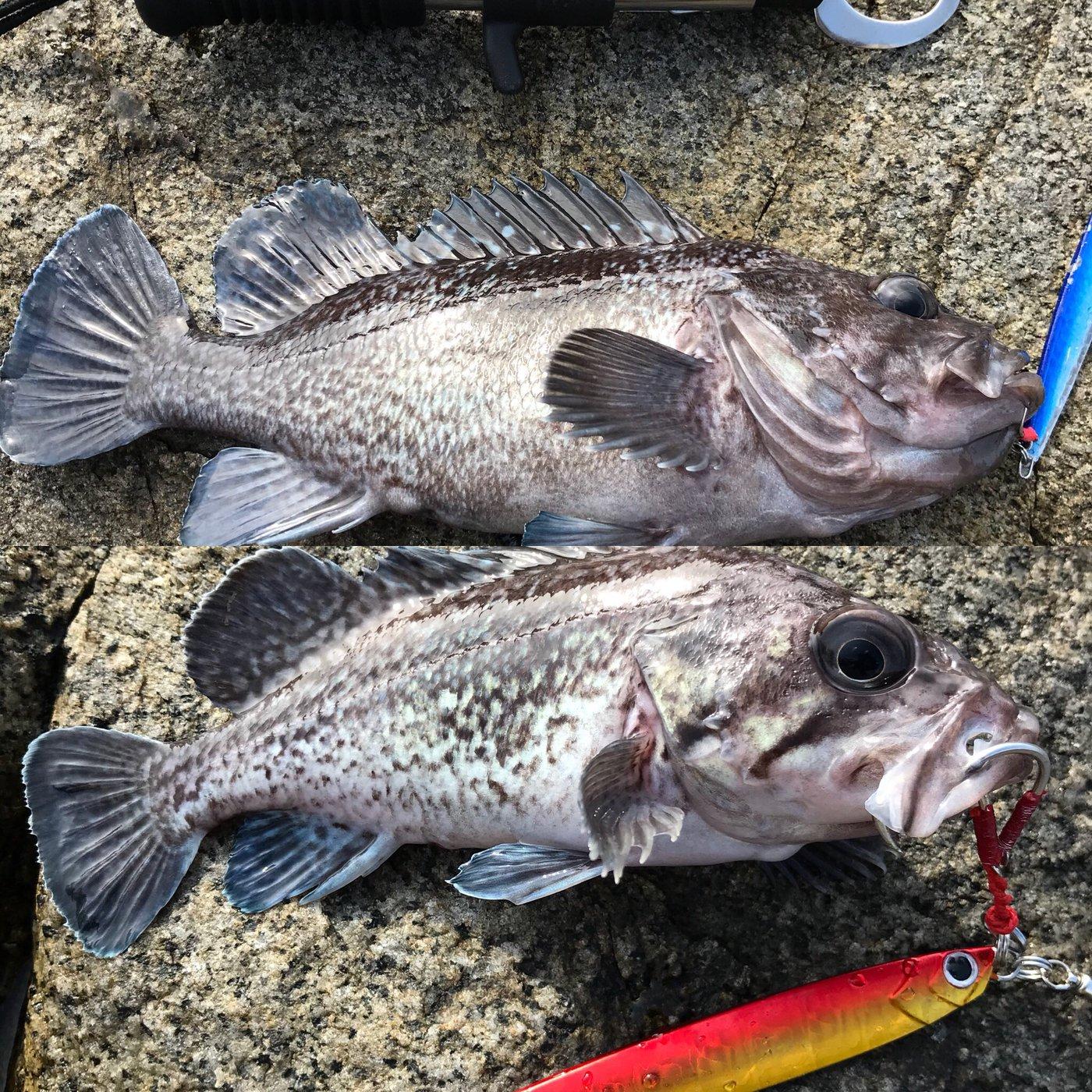 hatukisekiさんの投稿画像,写っている魚はキツネメバル