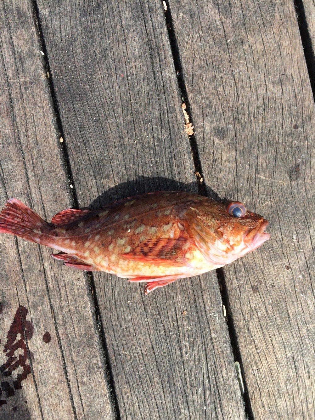 勝さんの投稿画像,写っている魚はキジハタ