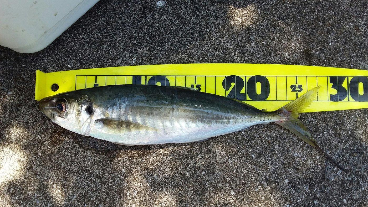 トキヒロさんの投稿画像,写っている魚はアジ