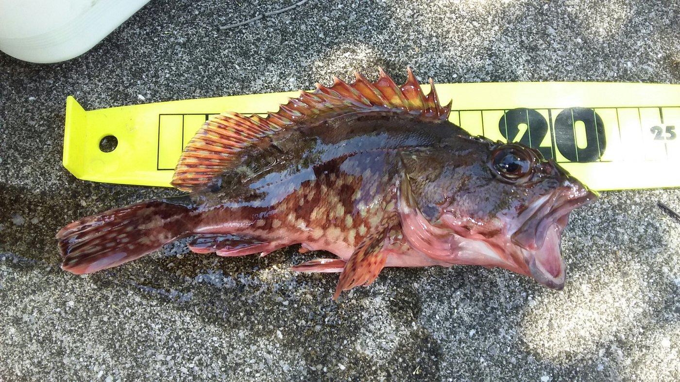 トキヒロさんの投稿画像,写っている魚はカサゴ