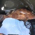 ドバコさんの鹿児島県鹿児島市でのオオモンハタの釣果写真