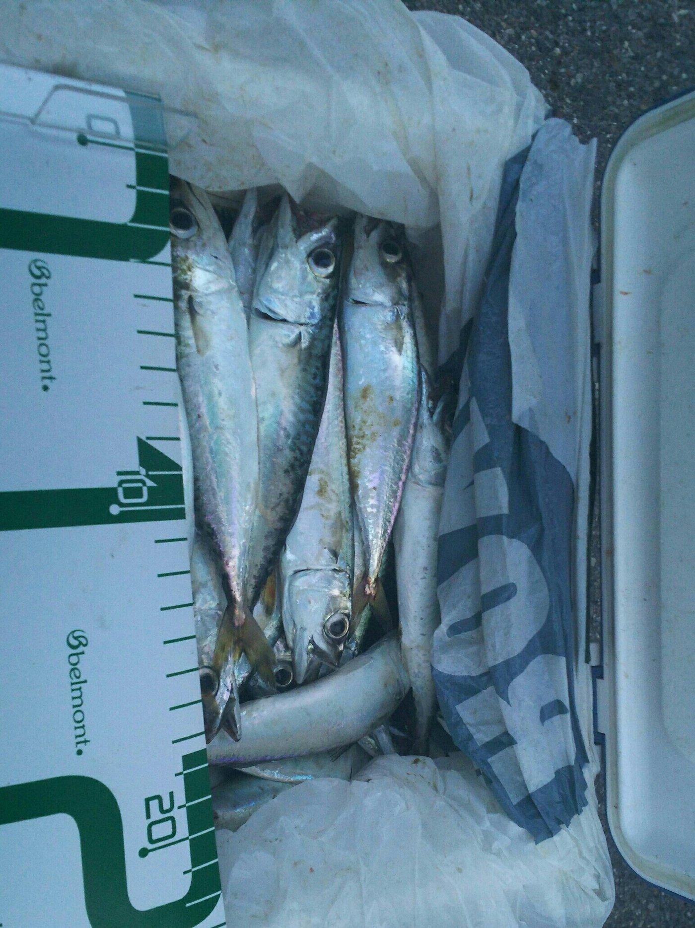 とらいぜっと(瀬戸智宏)さんの投稿画像,写っている魚はゴマサバ