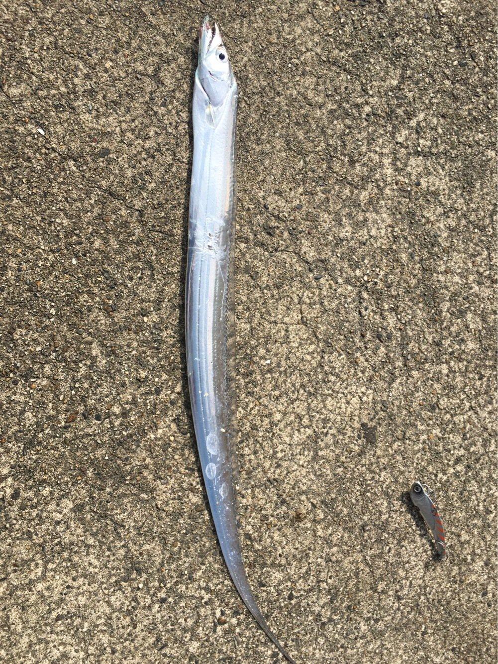 マスミさんの投稿画像,写っている魚はタチウオ