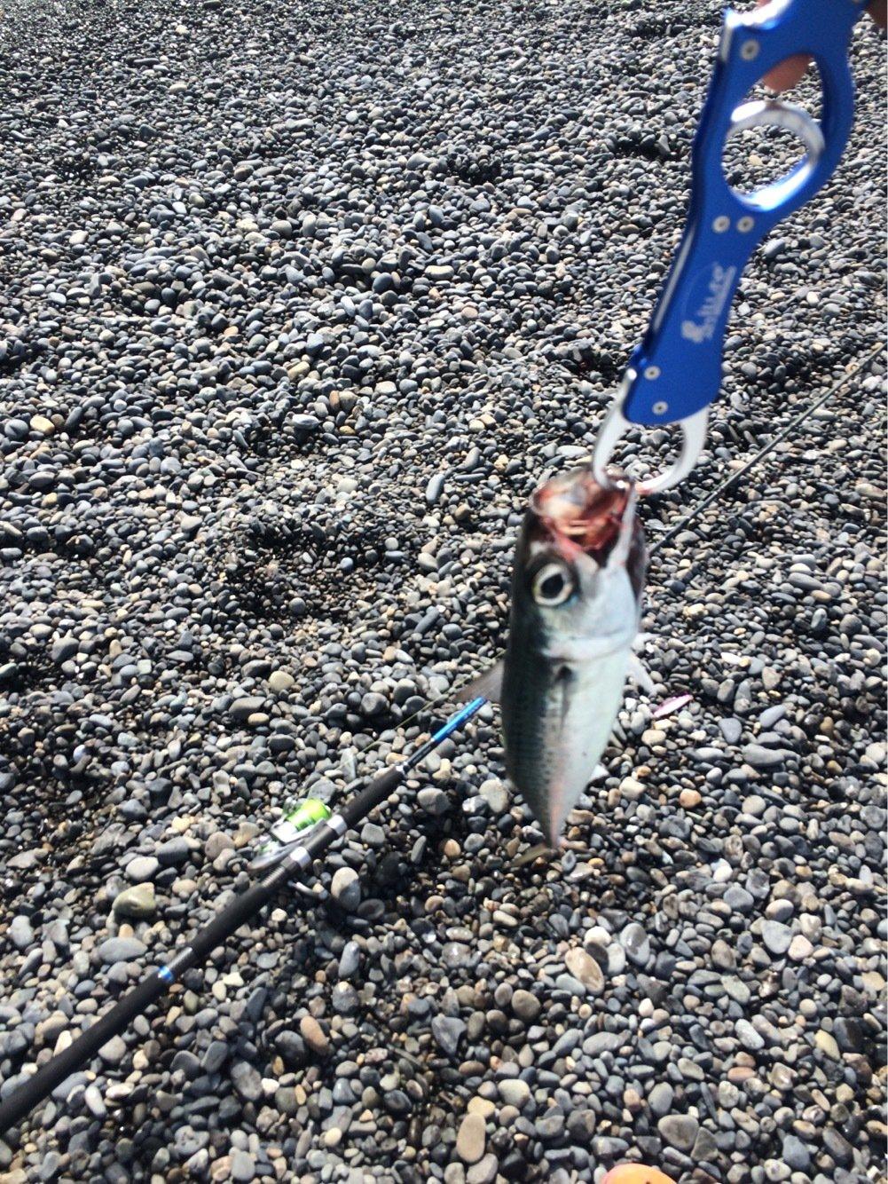 てmぽこさんの投稿画像,写っている魚はマサバ