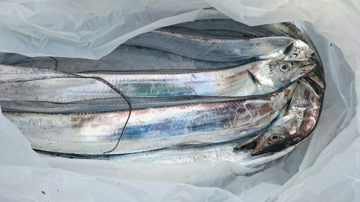 あっきーさんの投稿画像,写っている魚はタチウオ
