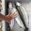 レオさんの長野県下高井郡でのニジマスの釣果写真