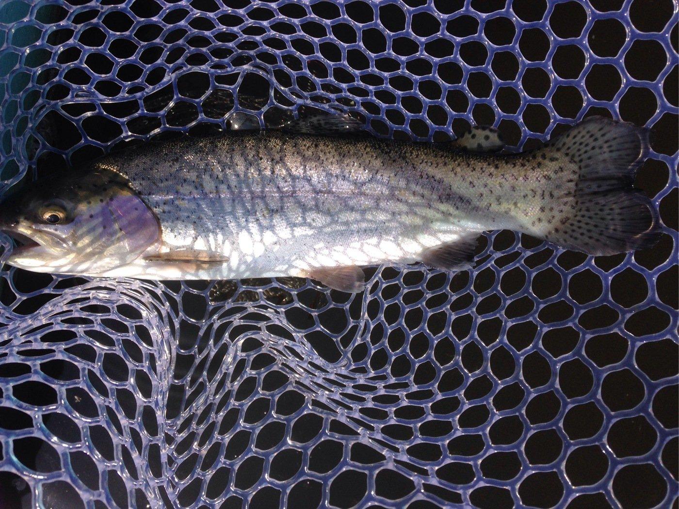 ヨハンさんの投稿画像,写っている魚はニジマス