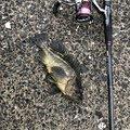 釣り Lv.26さんの北海道紋別市での釣果写真