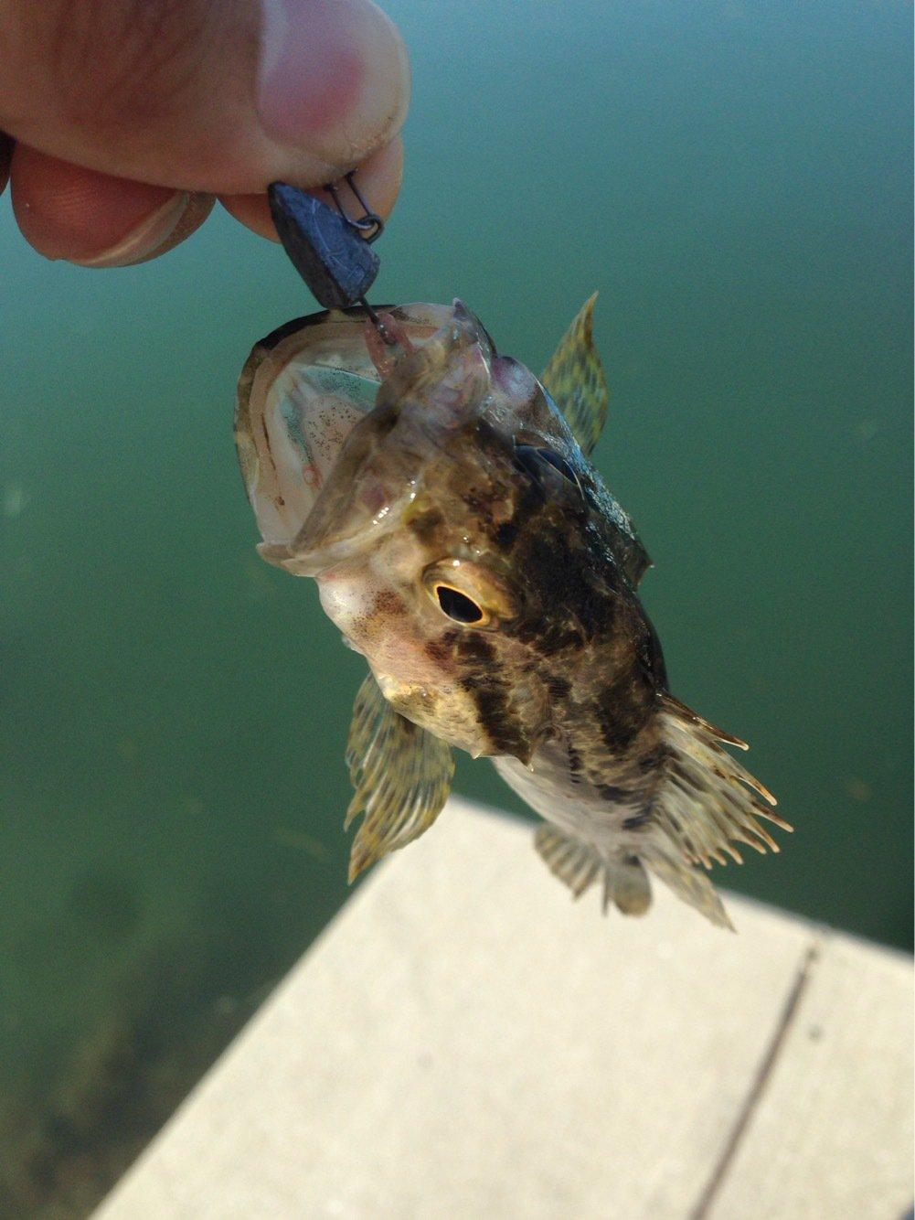 のりぴろさんの投稿画像,写っている魚はカサゴ
