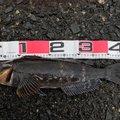 アブラコハンターさんの北海道有珠郡での釣果写真