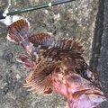 デクです!さんの神奈川県三浦郡でのカサゴの釣果写真