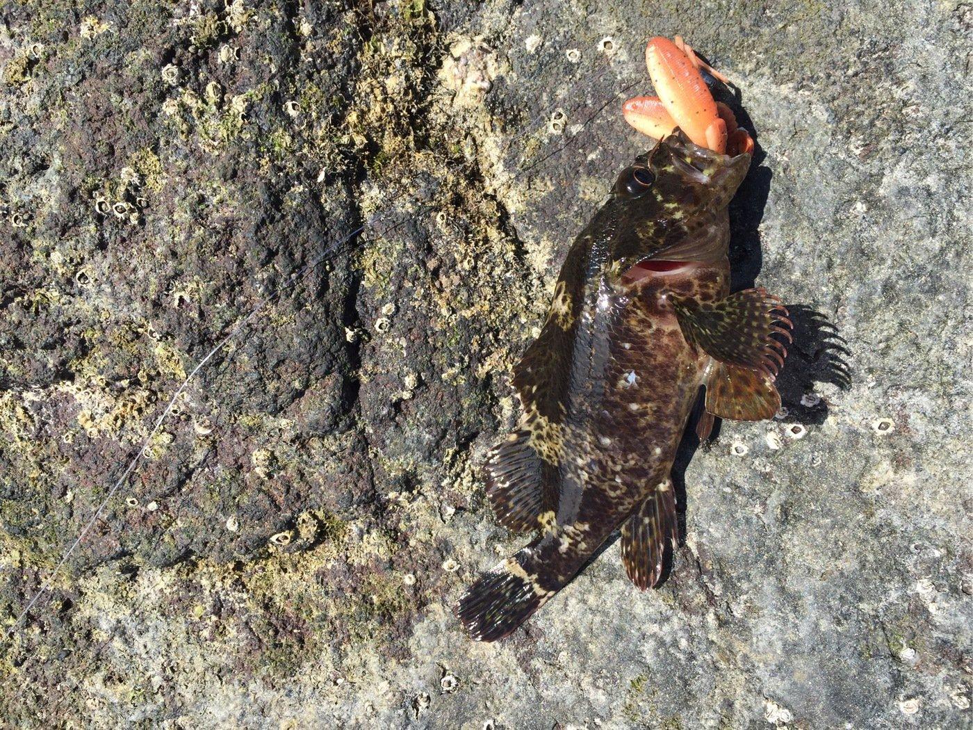 NIKEさんの投稿画像,写っている魚はムラソイ