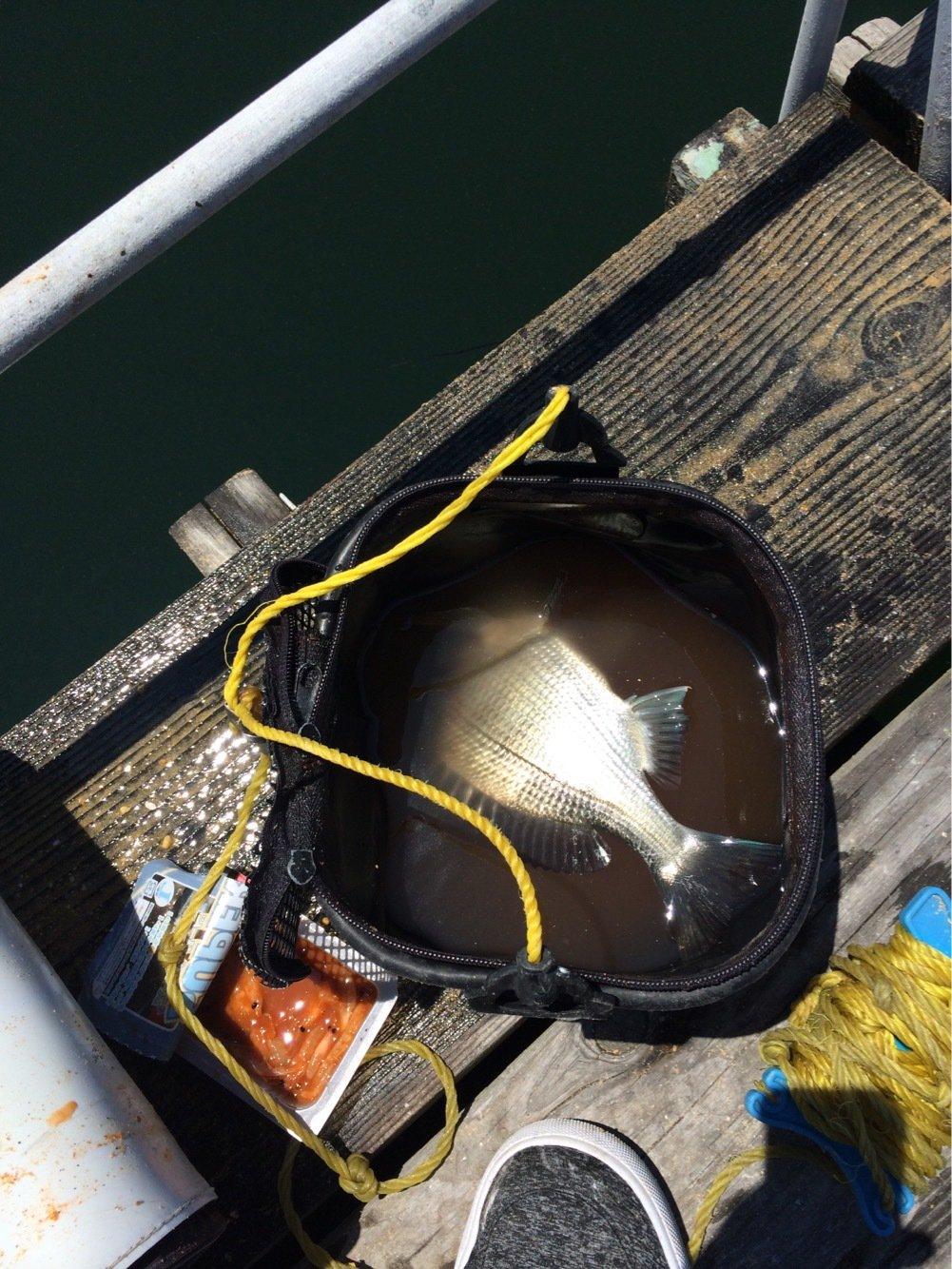 虎さんの投稿画像,写っている魚はクロダイ