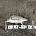 MOKOさんの福岡県福岡市でのクロダイの釣果写真