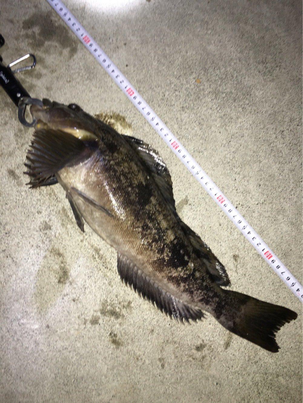 だいちゃんさんの投稿画像,写っている魚はアイナメ